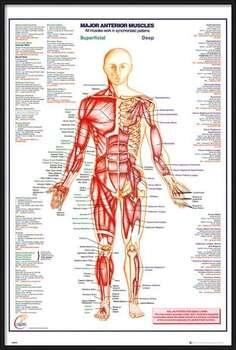 Poster incorniciato Human Body - Major Anterior Muscles