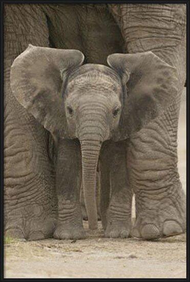 Poster  L'Elefante - Big Ears