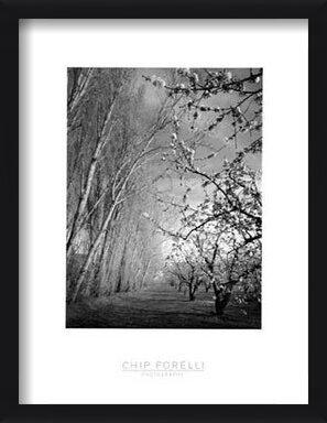 Cherry Blossoms - Stampe d'arte